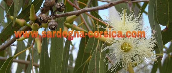 Eucalyptus eucalipto www sardegna corsica com