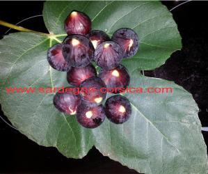 figues-noires-sur-feuille-de-figuier-1.jpg