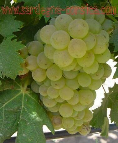 Raisins blancs de sardaigne uve bianche sardi