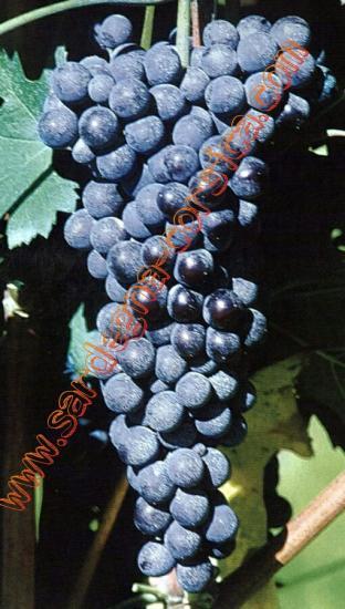 Raisins rouges de sardaigne uva rossa della sardegna